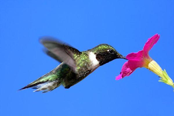 Gli uccelli , Un colibrì, Giamaica , Giamaica