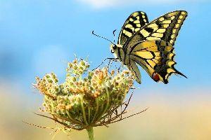 Las mariposas , Macaón amarilla , Jamaica
