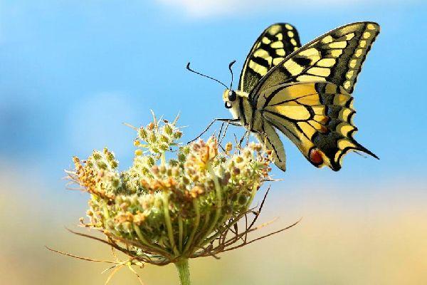 Le farfalle , Un macaone giallo , Giamaica