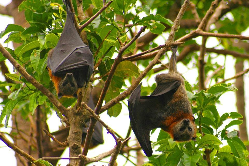 Les mammifères , Jamaïque