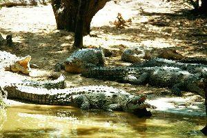 Los reptiles , Cocodrilo, Jamaica , Jamaica