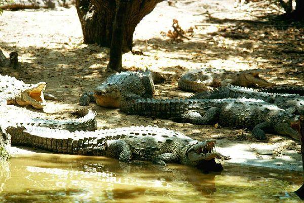 I rettili , Un coccodrillo, Giamaica , Giamaica