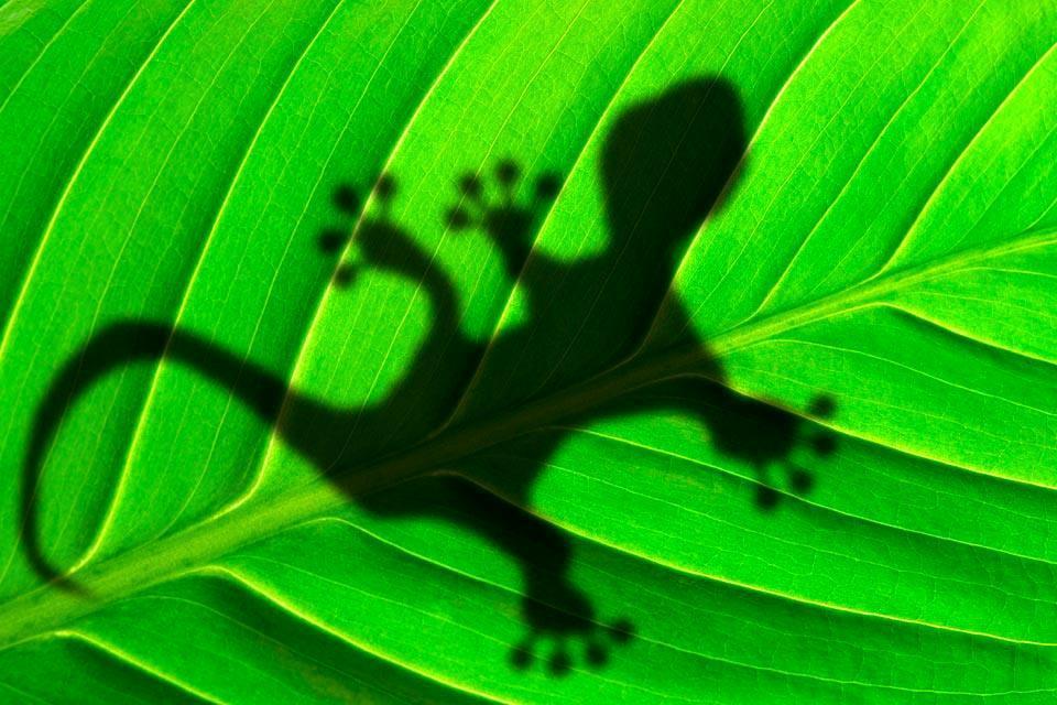 Les reptiles , Jamaïque