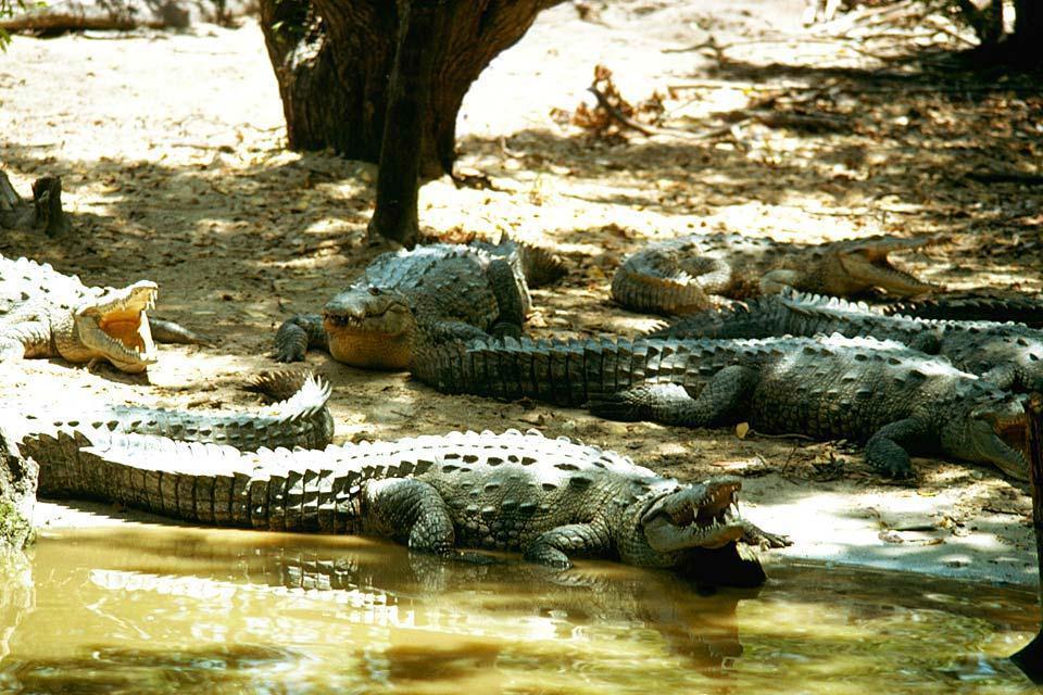 Les reptiles , Crocodile, Jamaïque , Jamaïque