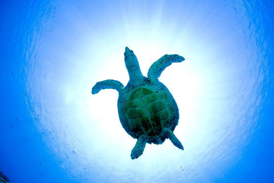 La fauna acquatica , Giamaica