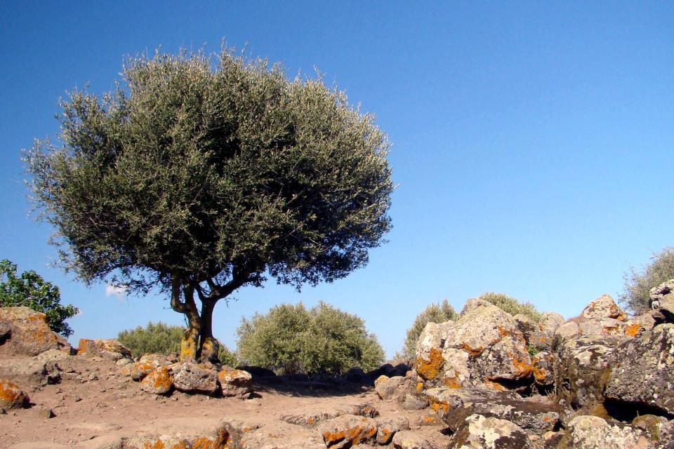 Vegetation , Sardinian olive trees , Italy