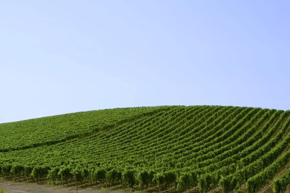 La flore de Sardaigne , La vigne , Italie