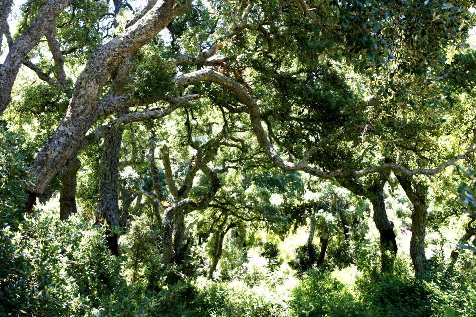 La flore de Sardaigne , Forêt de chêne , Italie
