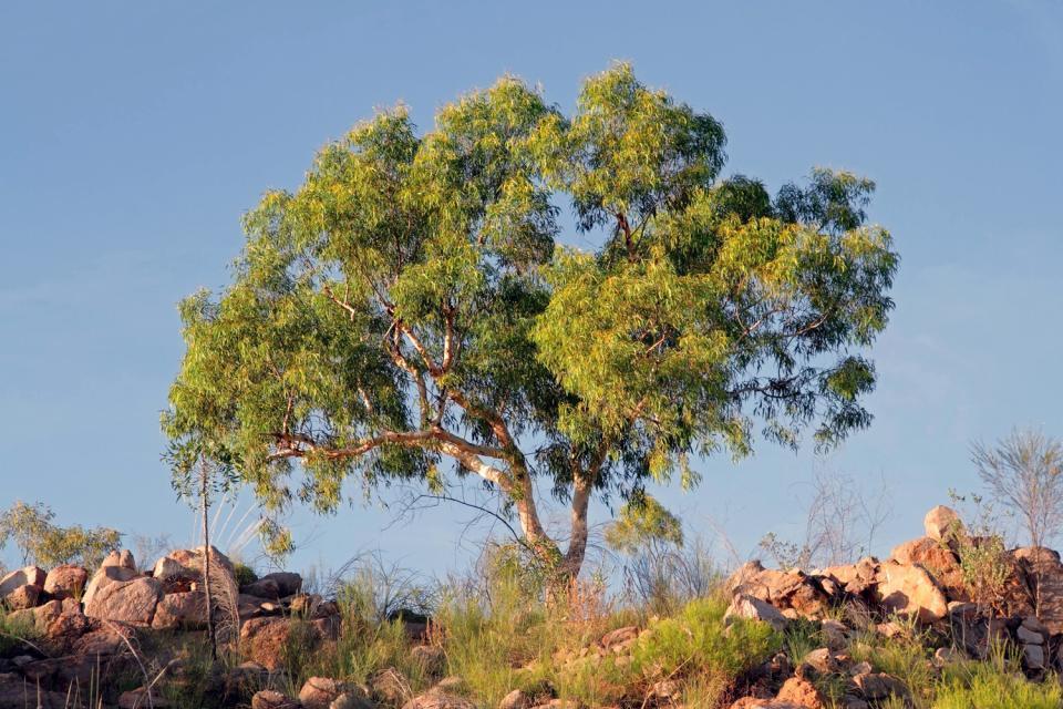 La flore de Sardaigne , Eucalyptus , Italie