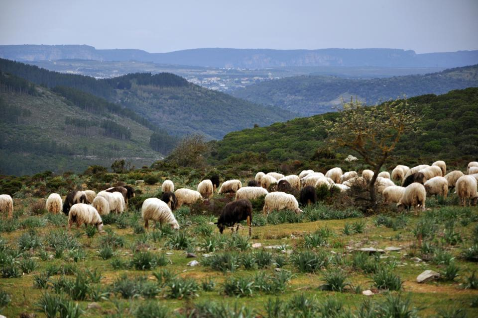 La faune de Sardaigne , Moutons de Sardaigne , Italie