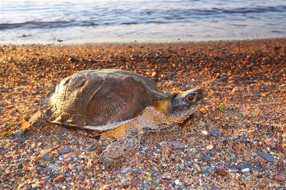 Wildlife , Sardinian tortoise , Italy