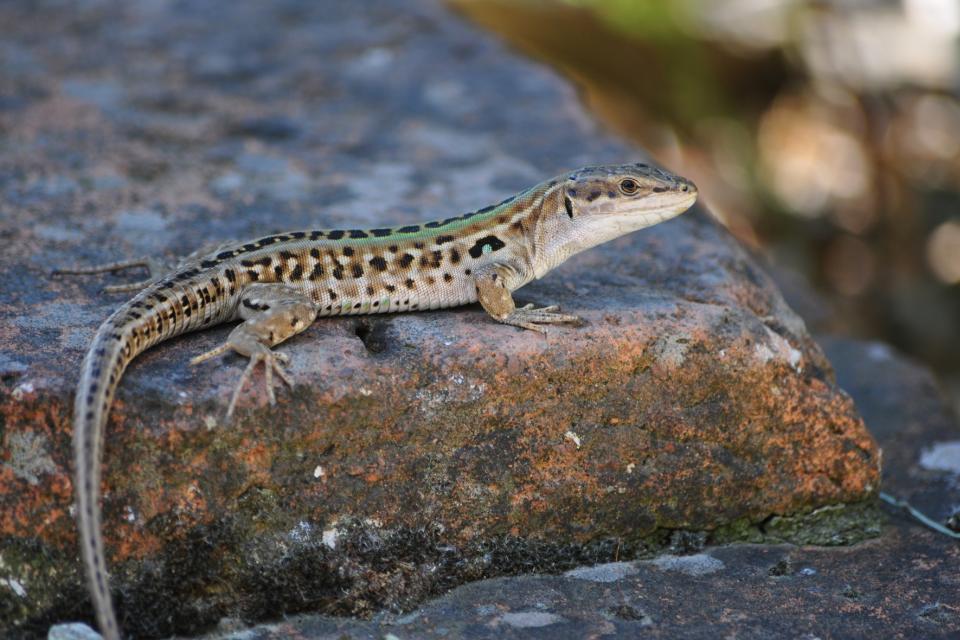 La faune de Sardaigne , Lézard, Sardaigne , Italie