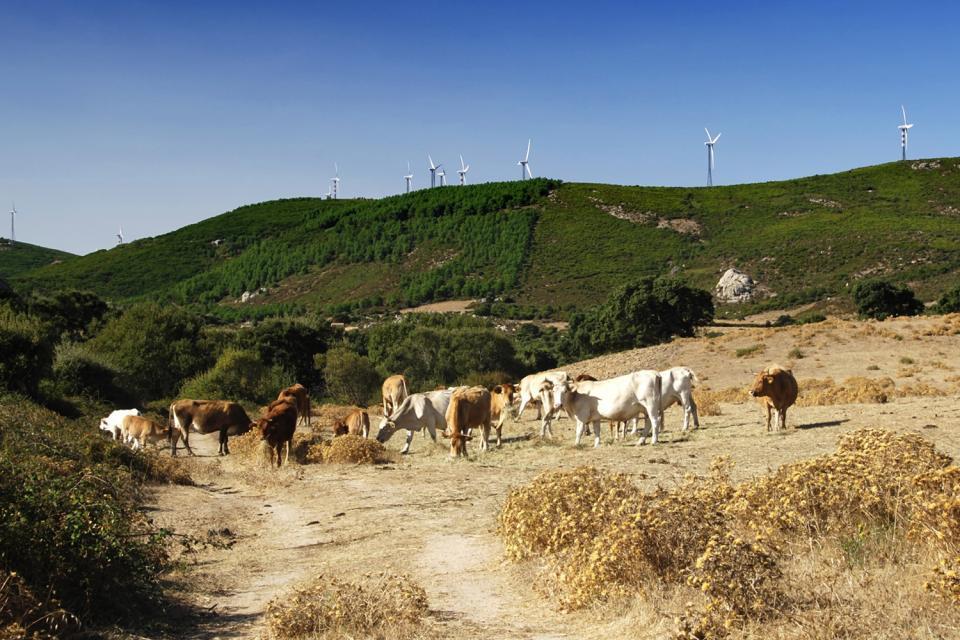 La faune de Sardaigne , Troupeau de vache , Italie