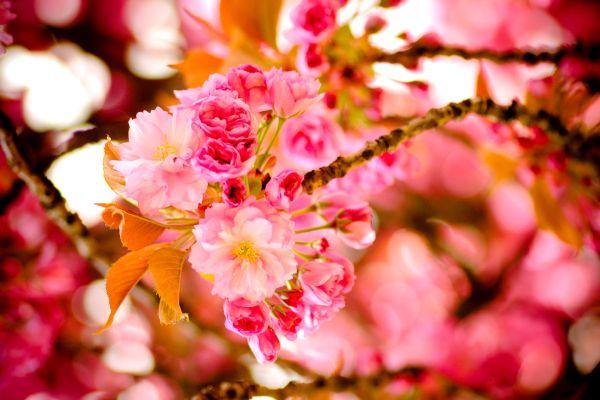 Los bosques , La famosa flor del cerezo de Japón , Japón