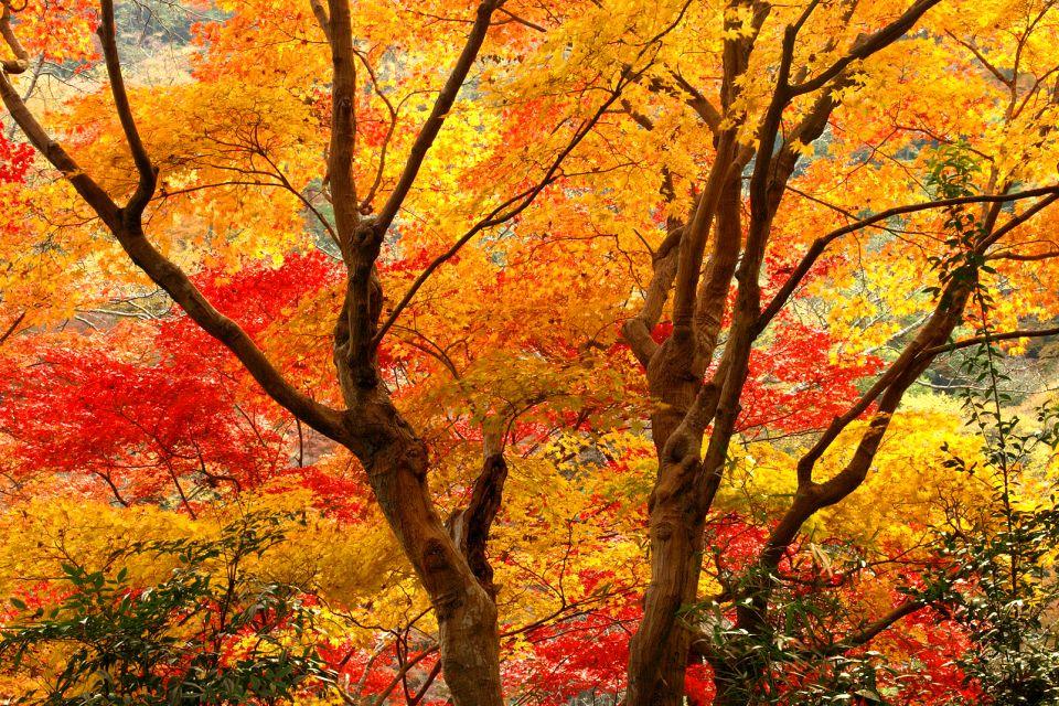 Les forêts , L'automne à Arashiyama près de Kyoto , Japon