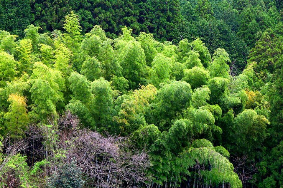 Les forêts , Un bosquet de bambou dans la vallée Kiso , Japon