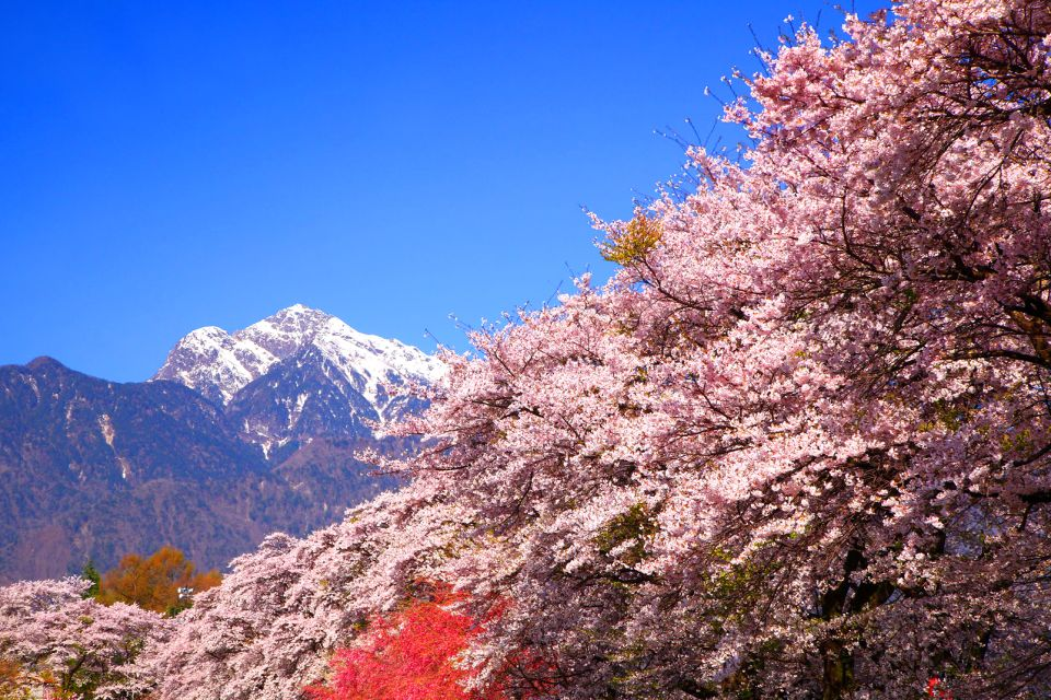 Forests , Cherry trees in bloom , Japan