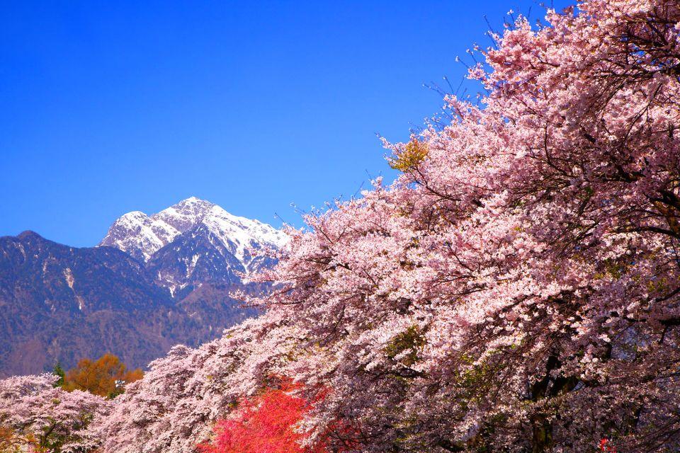 Les forêts , La floraison des cerisiers , Japon