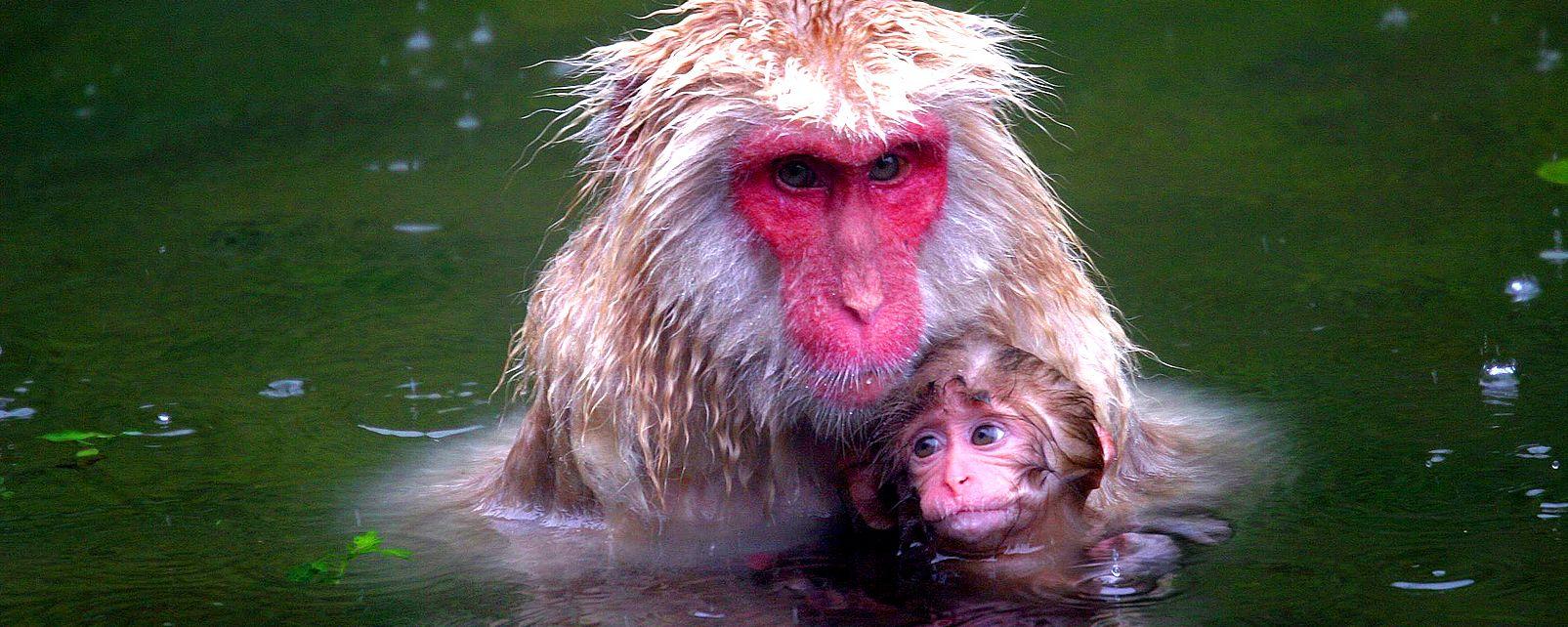 Monos de las nieves japoneses, La fauna, Fauna y flora, Japón