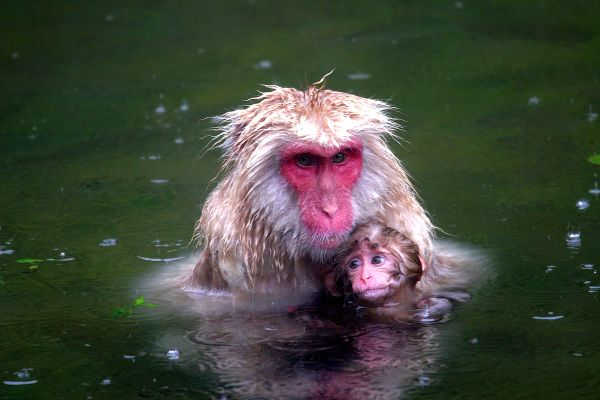 Japan's snow monkeys, Wildlife, The fauna and flora, Japan