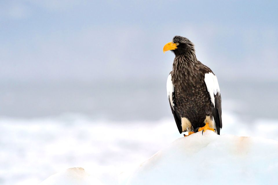 The Steller's sea eagle, Wildlife, The fauna and flora, Japan