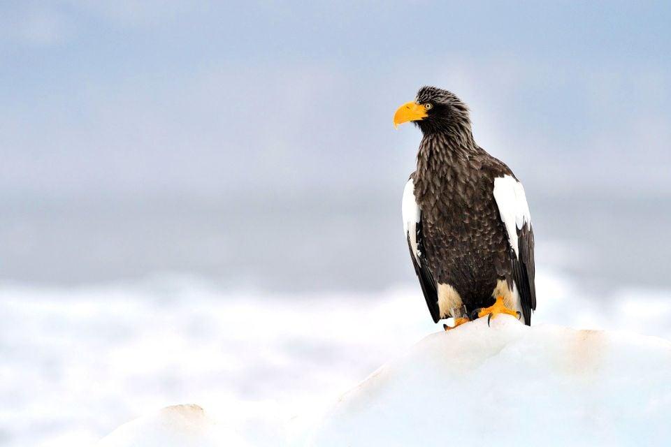El águila marina de Steller, La fauna, Fauna y flora, Japón