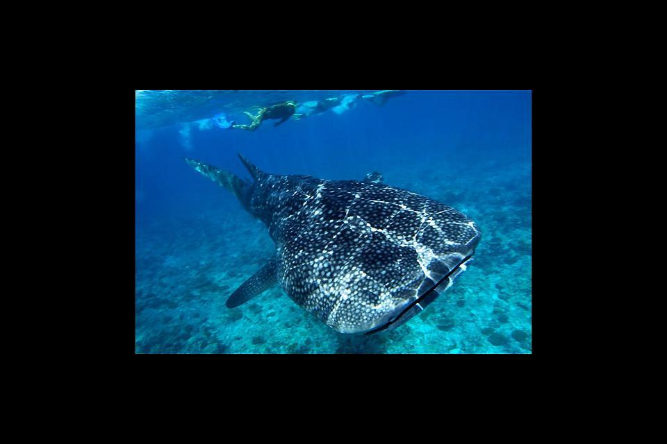 Marine parks and reserves , Whale sharks , Kenya