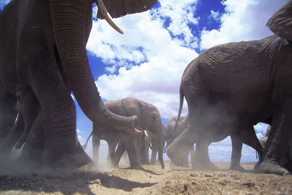 La reserva de Amboseli , Los elefantes de Amboseli , Kenia