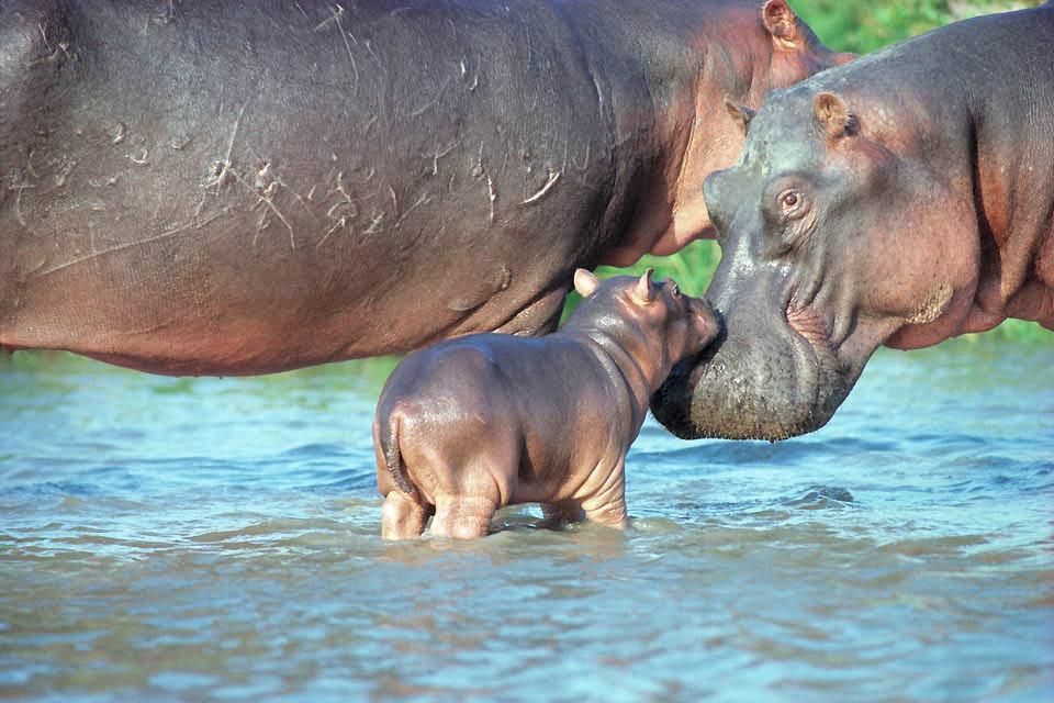 Haller Park , Gli ippopotami di Haller Park , Kenya