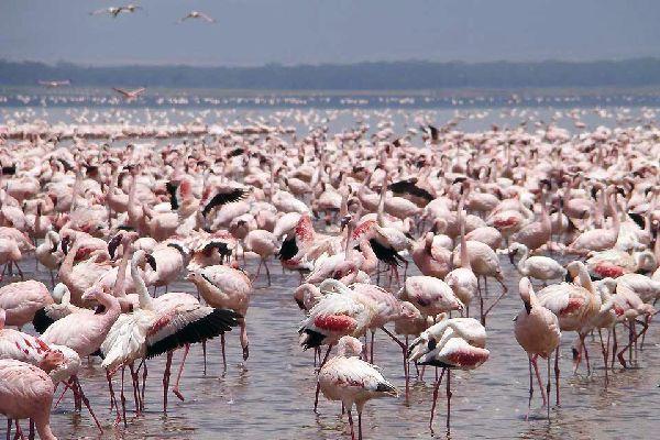 La reserva de Nakuru , Los flamencos rosas de Nakuru , Kenia