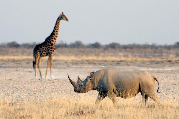 La reserva de Nakuru , El rinoceronte negro , Kenia