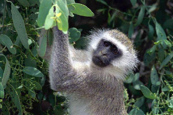 La reserva de Nakuru , Los monos de Nakuru , Kenia