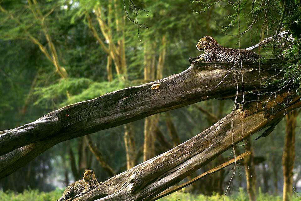 Lake Nakuru National Park , Leopards rest on a fallen tree , Kenya