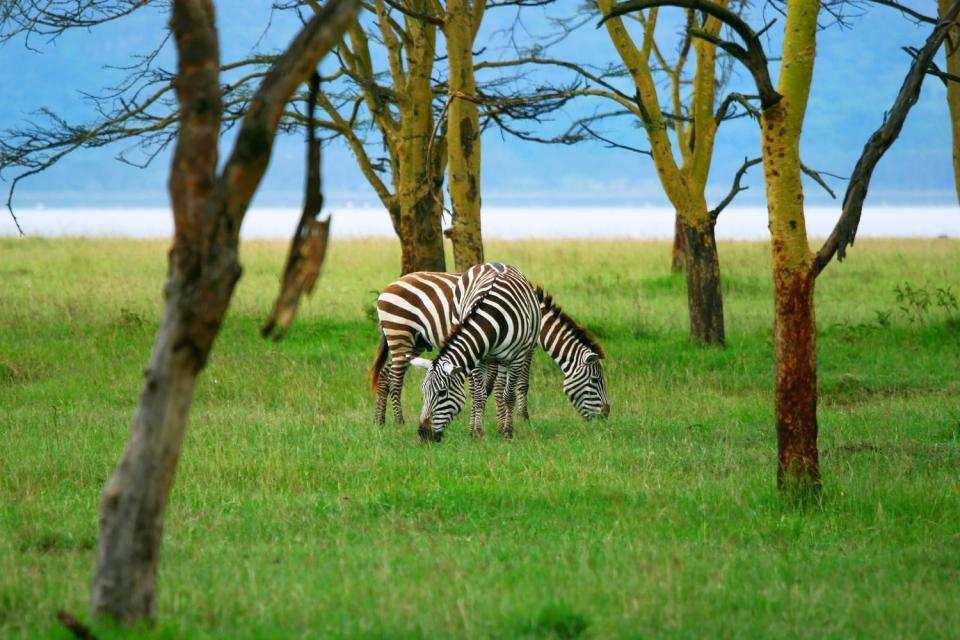 Lake Nakuru National Park , A leopard at Lake Nakuru National Park , Kenya