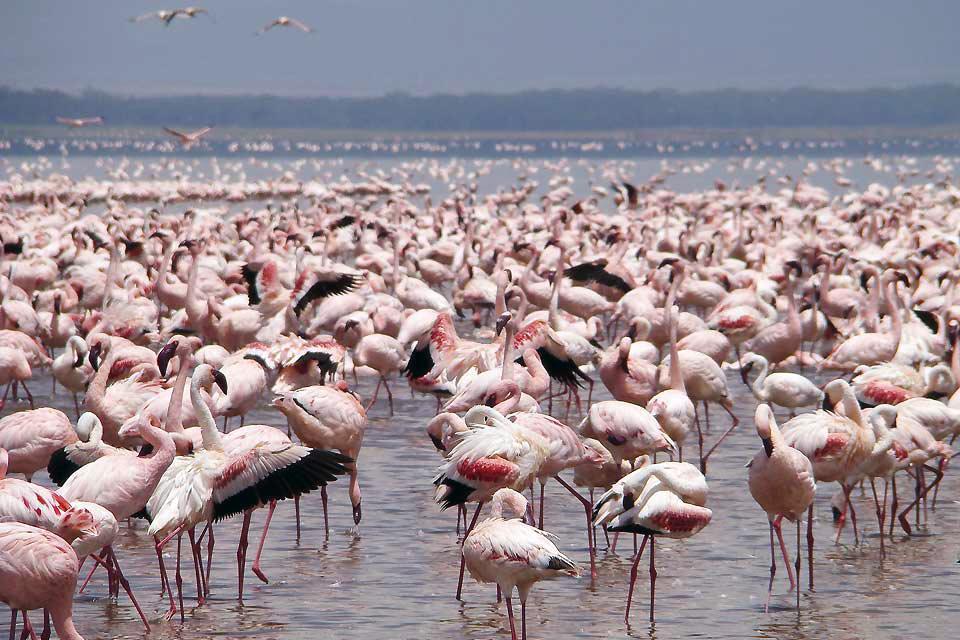 Lake Nakuru National Park , The pink flamingos of Nakuru , Kenya