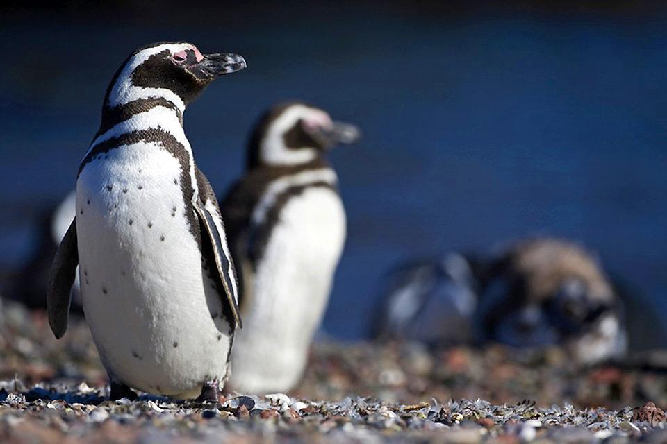 Sea life , A penguin , Argentina