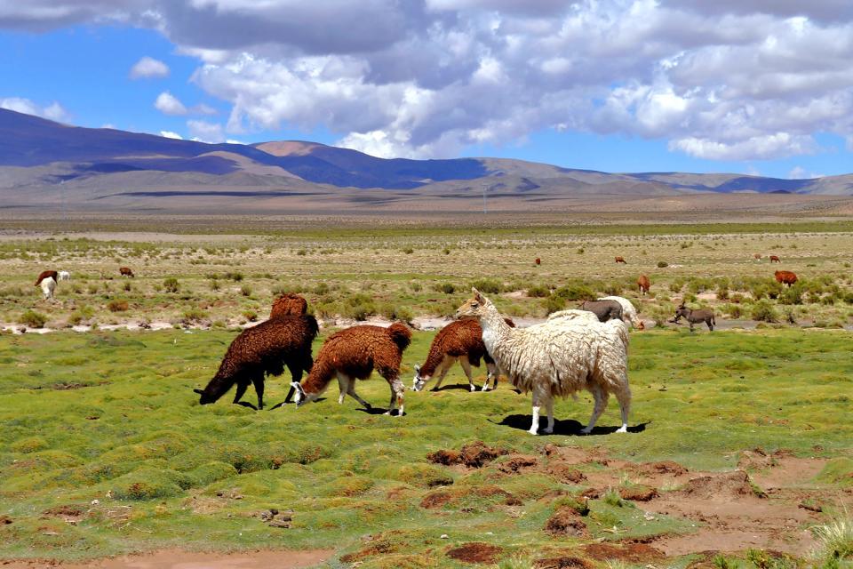 La faune de la Pampa , Les montagnes argentines , Argentine