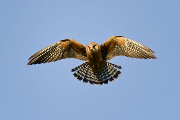La faune, Afrique, faune, Lesotho, oiseau, rapace, oiseau de proie