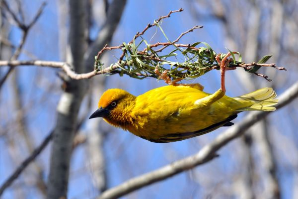 La faune, Afrique, faune, tisserin, Lesotho, tisserin du cap, oiseau