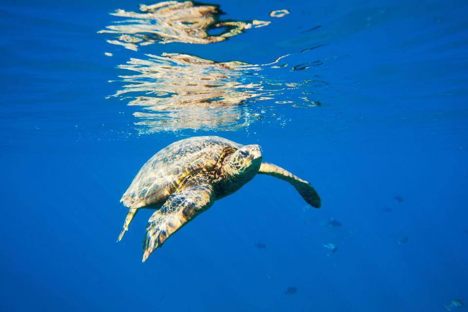 La fauna sottomarina , Una razza , Libano
