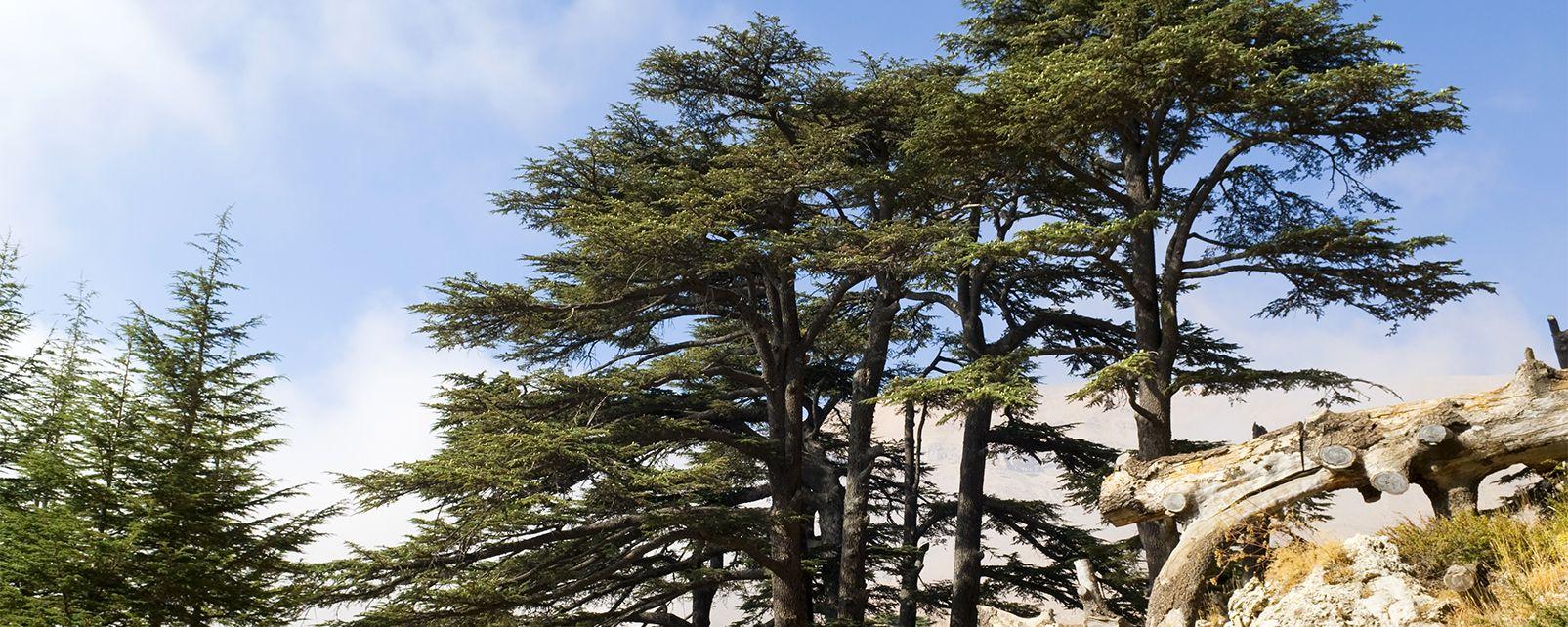 La flore, Liban Cèdre Bcharré Forêt Arbre
