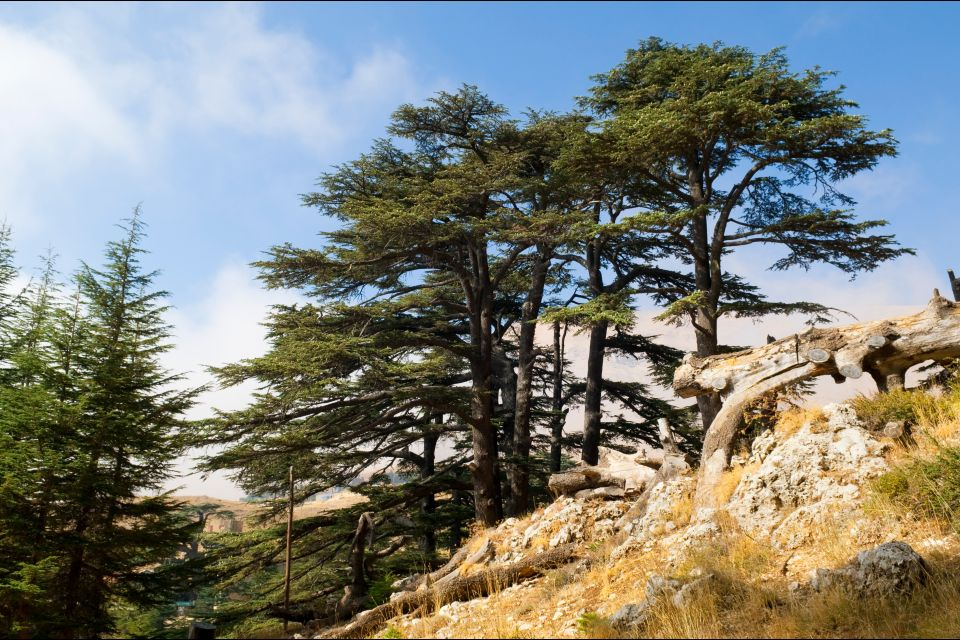 The thousand year old cedars, Forests, The flora, Lebanon