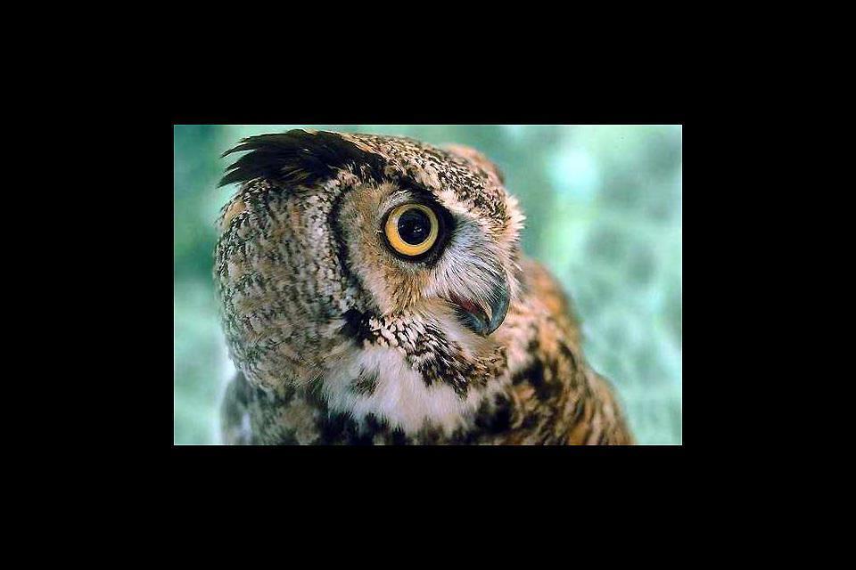 The wildlife of the alpine highlands, forests , An eagle owl in Liechtenstein , Liechtenstein