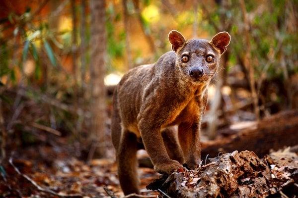 Gefährdete endemische Arten , Madagaskar