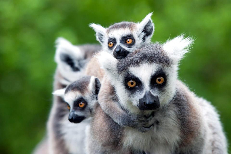 Endemic endangered species , Madagascar