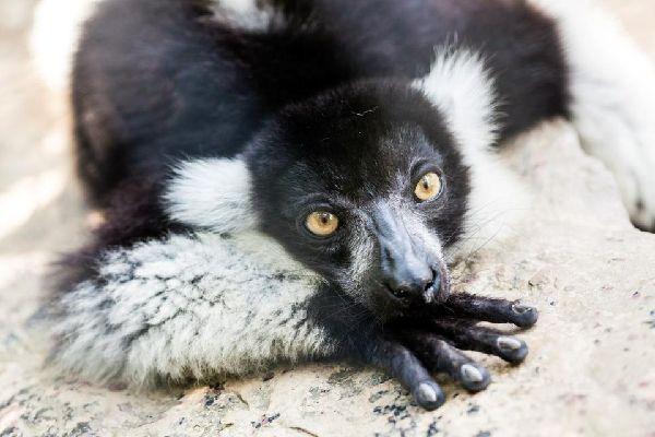Die Lemuren , Madagaskar