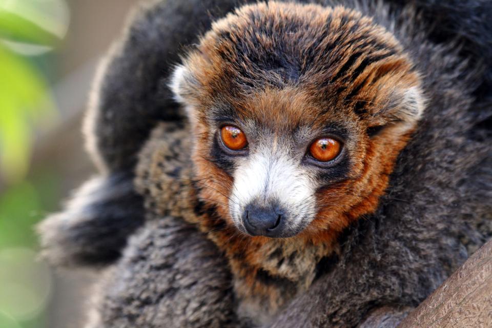 Les lémuriens , Madagascar