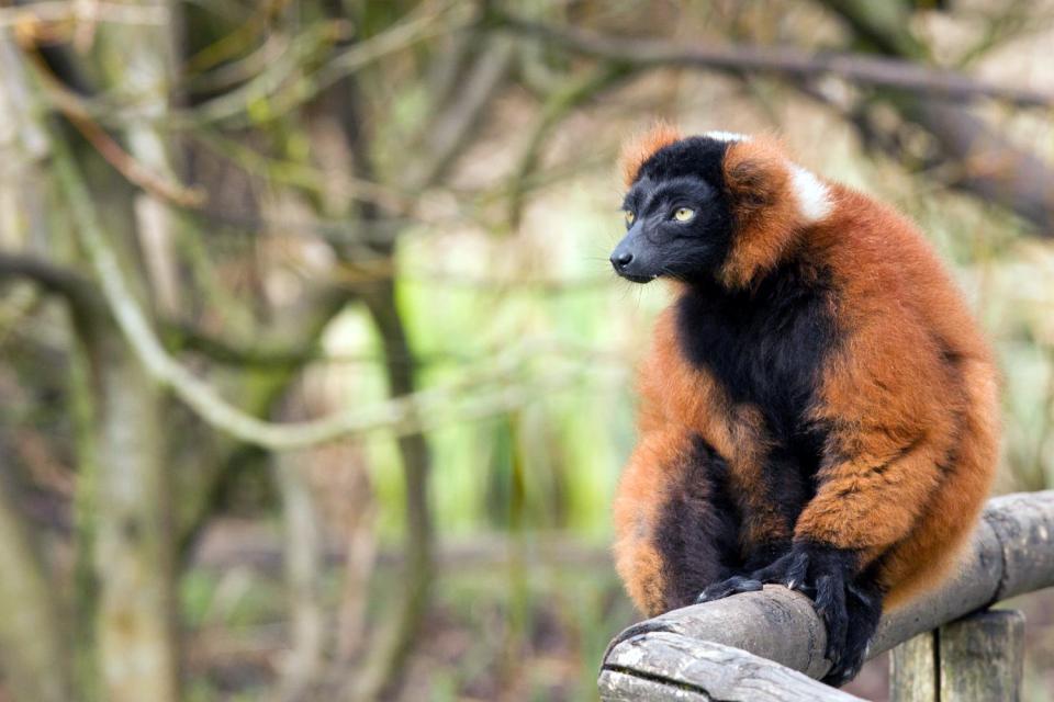 Les lémuriens , L'animal vedette de Madagascar , Madagascar