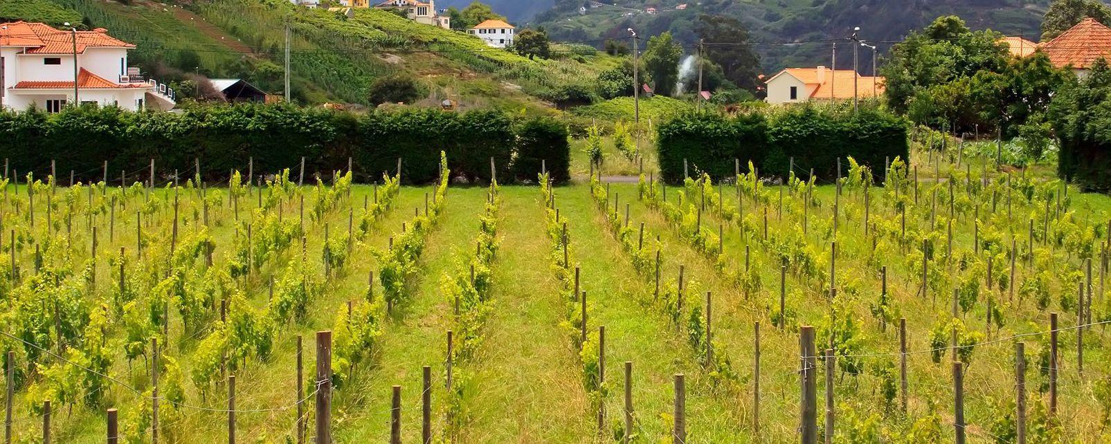 Grappoli preziosi, La vite, La fauna e la flora, Madeira