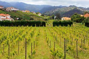 Der Weinberg , Kostbare Trauben , Portugal